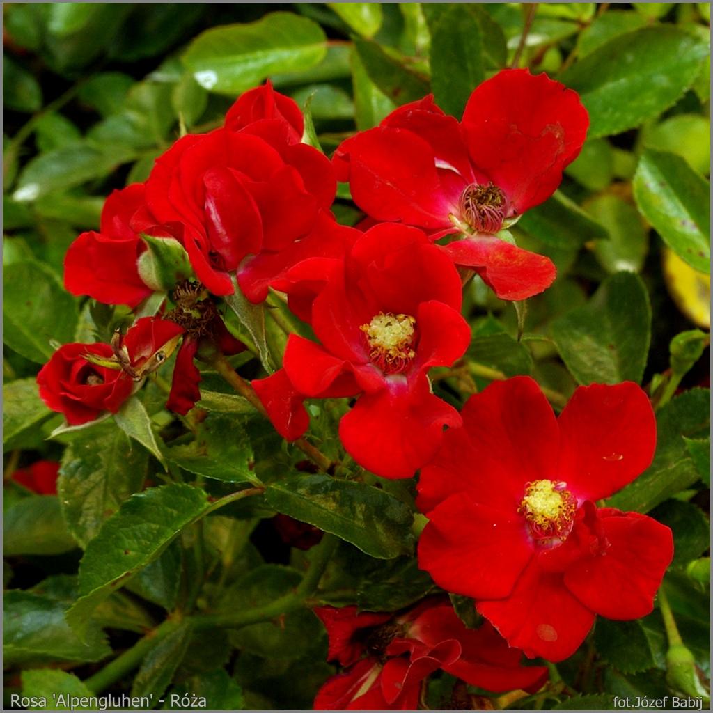 Rosa 'Alpengluhen' - Róża