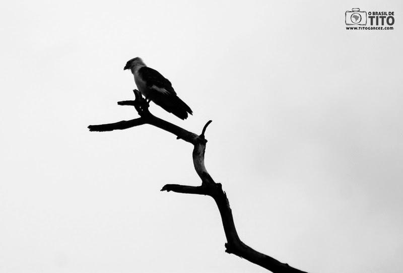 Gavião à espreita na ilha de Maiandeua (Algodoal), no Pará