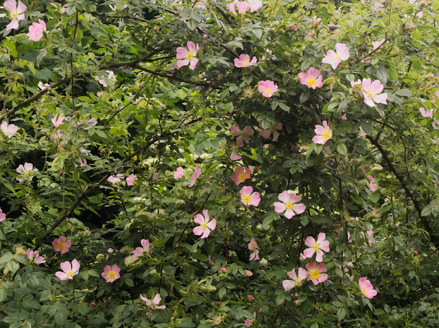 Bush of Dog Roses