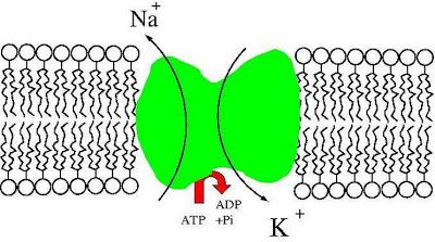Bomba de sódio e potássio (bomba Na+K+)