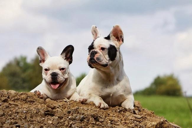 Psie umaszczenie
