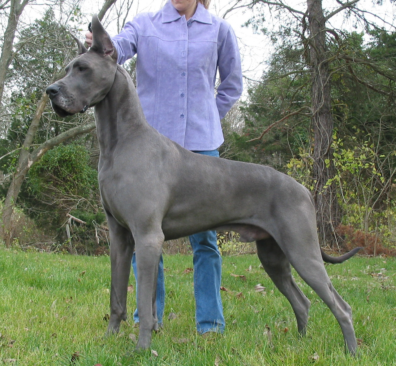 About dog great dane training your great dane to listen to you geenschuldenfo Image collections