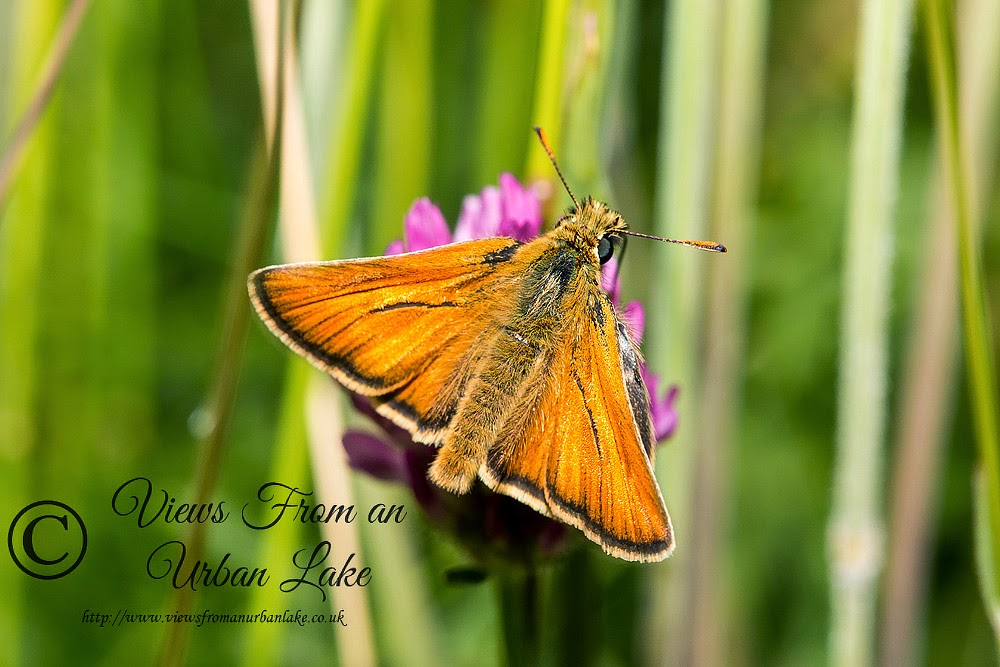 Small Skipper - Loughton Valley Park, Milton Keynes