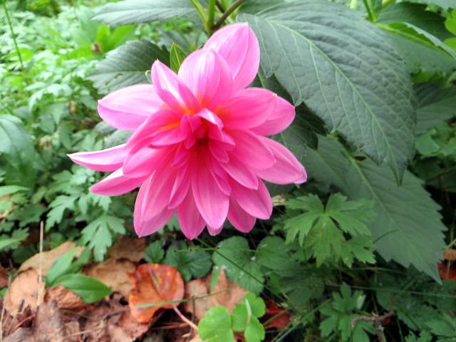 vaaleanpunainen daalia