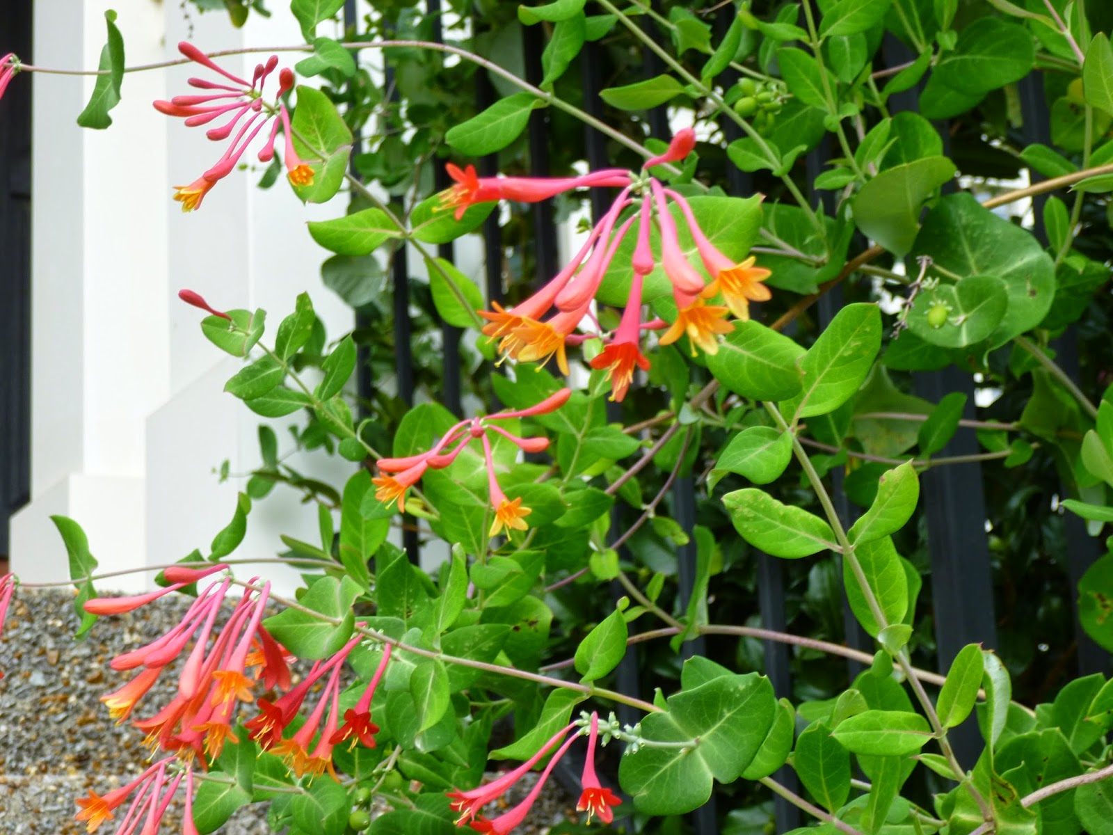 One More View Of The Coral Honeysuckle Flowers I Tried To Duck Down And Get  A