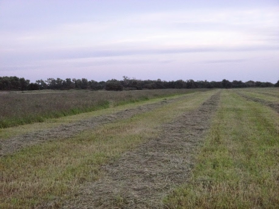 Mowing a field of forage for cattle