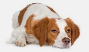 cães com artrose