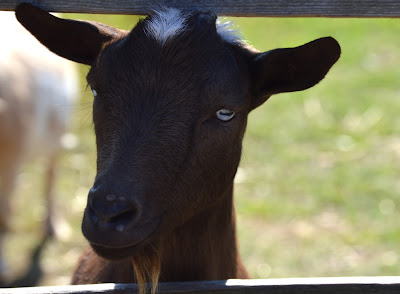 A friendly goat at Maymont