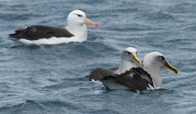 Black-browed Albatross, Buller's Albatross