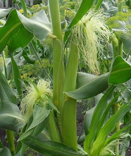 20.07. Первые завязи кукурузы