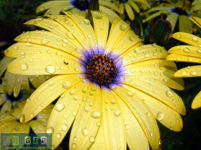 صور ورد اصفر وردة صفراء جميلة مبللة بالماء