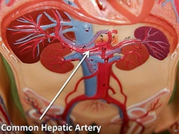 Hepatic Artery on Biliary System Disorders