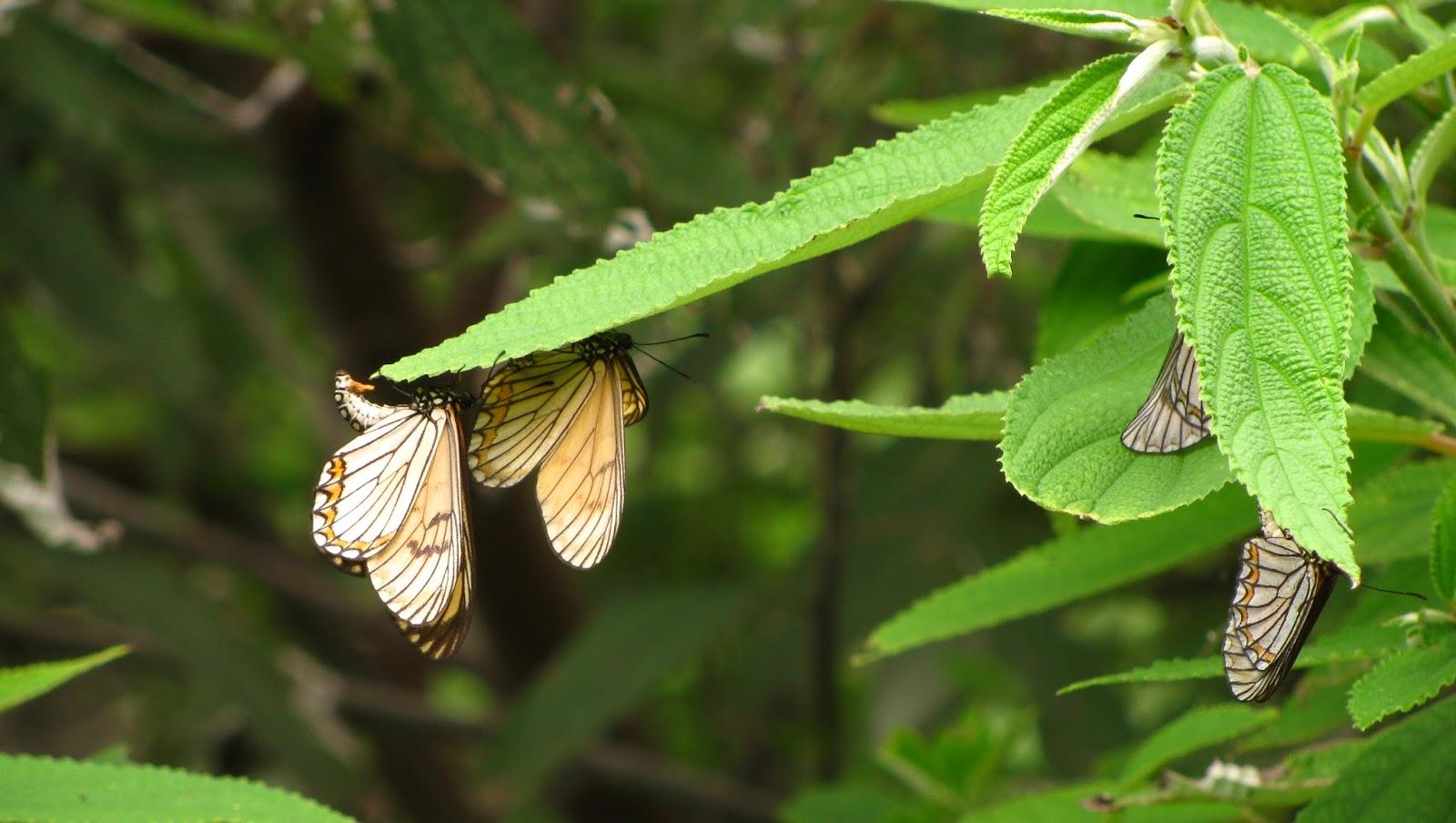 yellow coster, nagaland butterflies, chizmi village, butterfly diverity