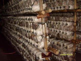 cara budidaya jamur