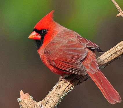 Red Northern Cardinal Male