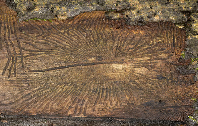 Bark beetle galleries.  Hayes Common, 25 December 2011.