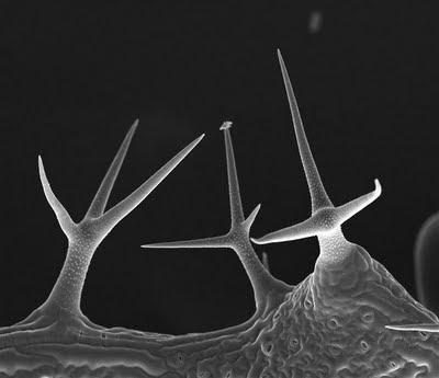 tricoma hoja arabidopsis