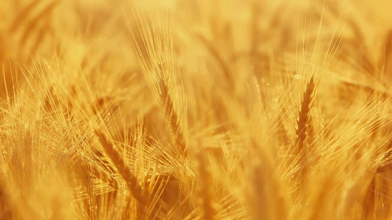 gambar wallpaper ladang gandum terindah