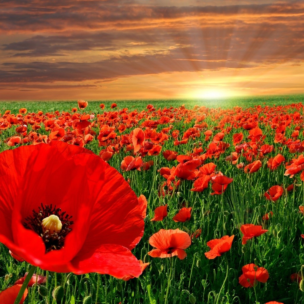 http://2.bp.blogspot.com/-TevpWtBtGh0/TaXPE6BnW0I/AAAAAAAACKs/kDesQ5B2lU4/s1600/nature-free-wallpapers027-poppy-field.jpg