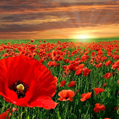 Poppy field download free wallpapers for Apple iPad