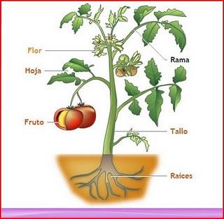 Mis pensamientos las partes de la planta for Un arbol con todas sus partes