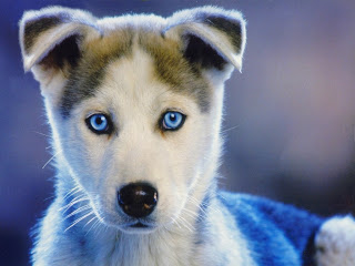 Siberian Husky Puppy Photos