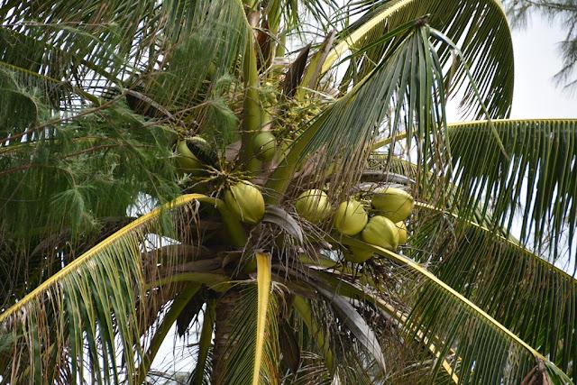 Mai Khao Beach cocos