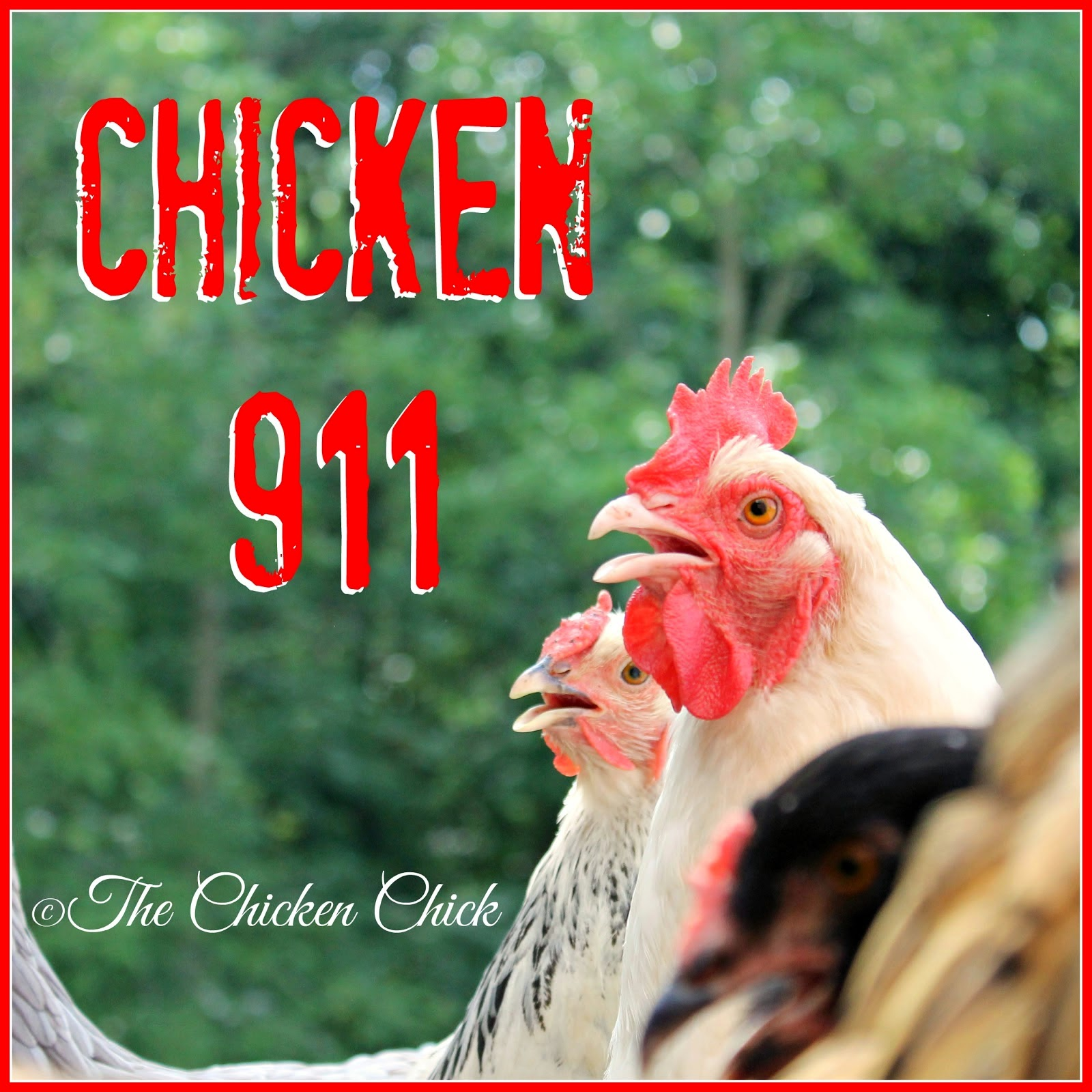 the chicken how to care for an injured chicken
