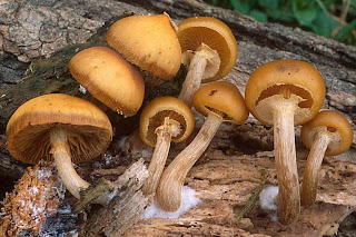 Galerina marginata - Galerina marginada