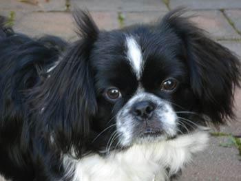 Cute Dogs: Black Pekingese Dog