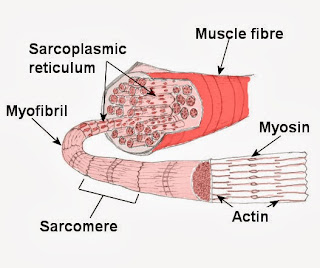 μυικές ίνες