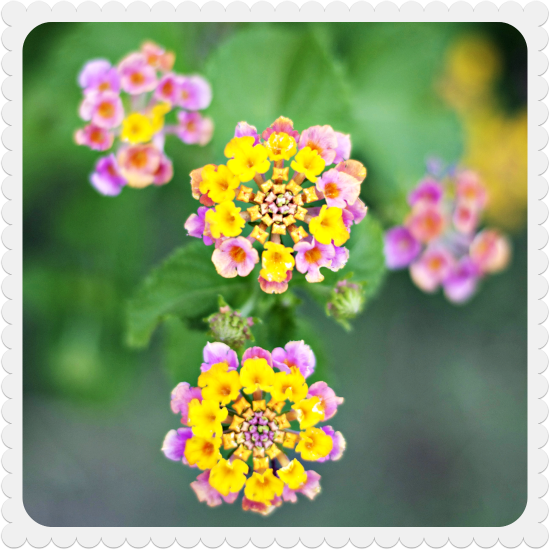 L to the third ooo pretty flowers so here are some pretty flowers on a lantana plant in our backyard ive named it carlos see you all next week mightylinksfo