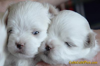 Cute Maltese Puppy Pictures