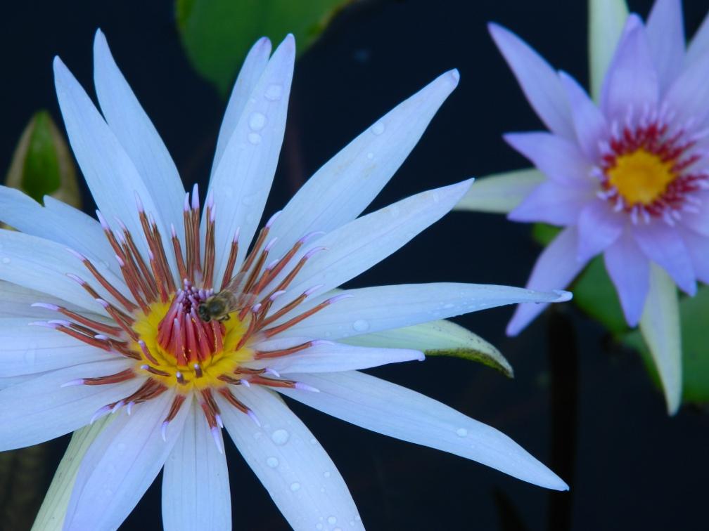 Nymphae Panama Pacific tropical waterlily Brazilian Garden Naples Botanical Garden by garden muses-a Toronto gardening blog