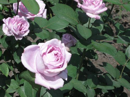 Vaaleanpunainen roosa ruusu
