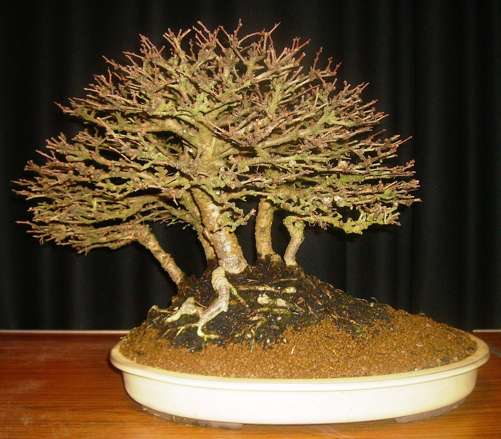 Ashfield Bonsai Club February 2013