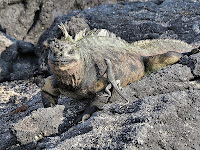 Iguana and Lava Lizard, Espinosa Point, Fernandina
