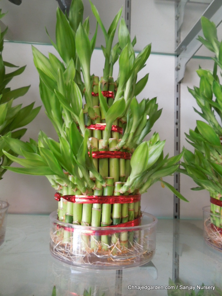 Exploring The New.......: Lucky Bamboo Plants in India and ...
