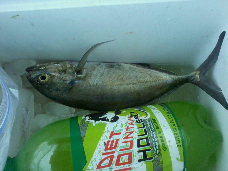 Martin county fla fishing report big fish for Blue runner fish