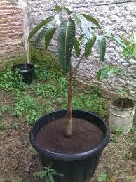 Cara Budidaya Mangga dalam Pot