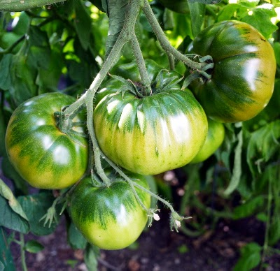 Caspian Pink tomatoes ripening on the vine