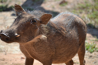 Warthog at Mabula Game Reserve