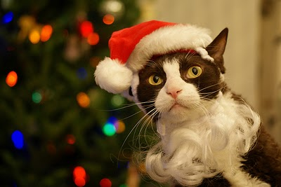 Funny Image Collection: View funny cat christmas Pictures ...