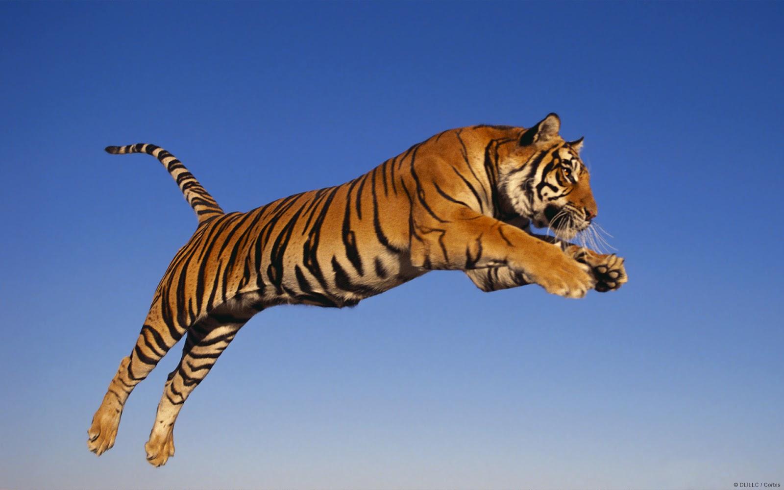 Résultats de recherche d'images pour «tiger»