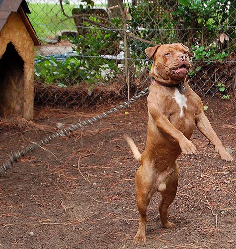 Pitbull History - British American Staffordshire PitBull Terrier - m5x ...
