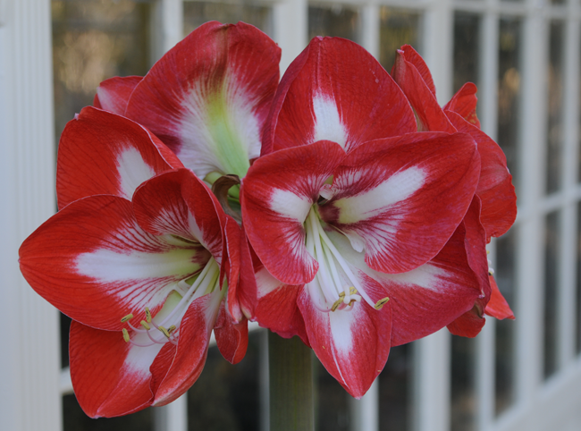 Growing with plants amaryllis confidential for Amaryllis bulbe conservation