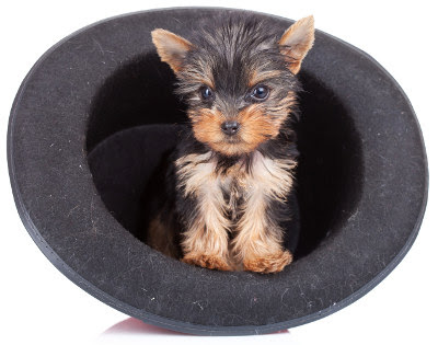 Teacup Yorkie Care