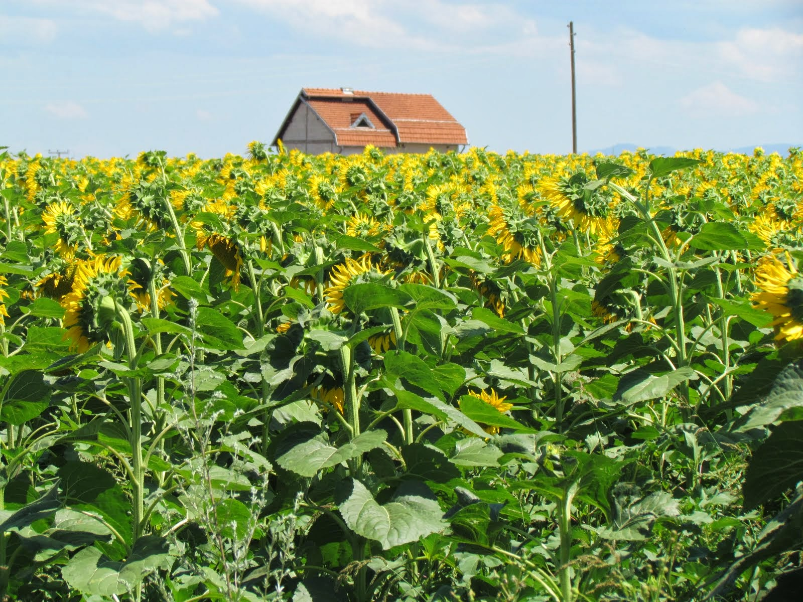 sunflowers - kosovo