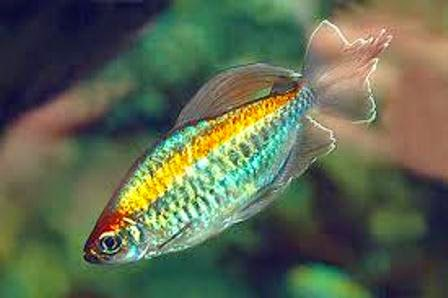 Aquarium fish tetra 1000 aquarium ideas for Common freshwater aquarium fish