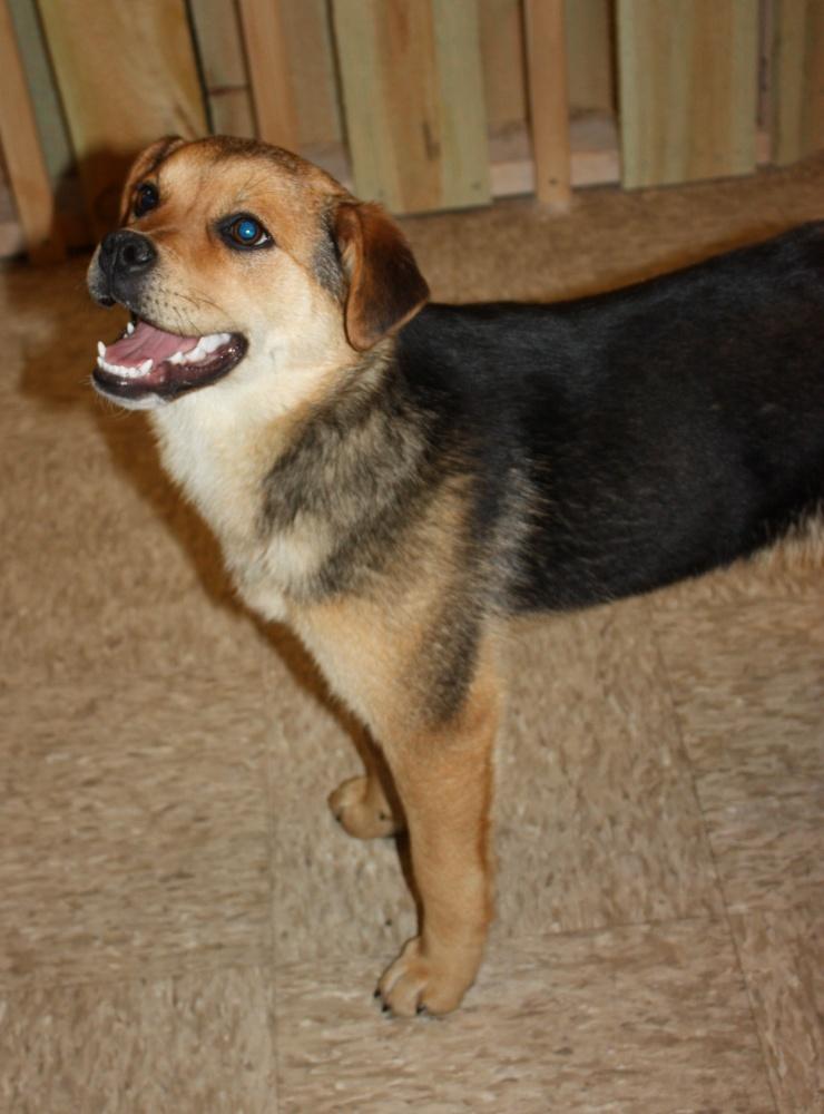 Shepard Beagle Mix | Dog Beagles, 740x1000 in 180.9KB